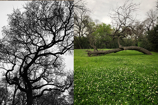 Left: view from below of tree branches, Right: wide open field with green grass and a falllen tree branch in the center